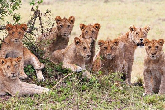 africa_lions